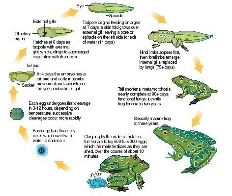give an example of a fish amphibian reptile mammal