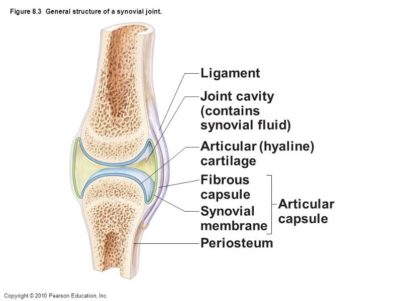 the knee joint is an example of a