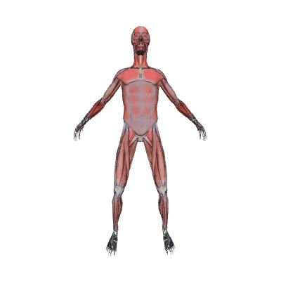 example of muscle tissue in human body